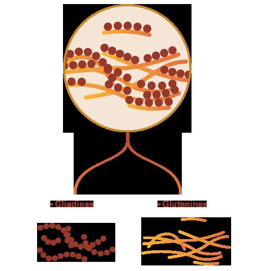 descomposición-del-gluten